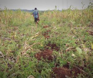 သီးနှံများပေါ်တွင် နှစ်ရှည်ပင်လာရောက်စိုက်ပျိုးသည့်အတွက် သီးနှံပင်ပျက်စီး