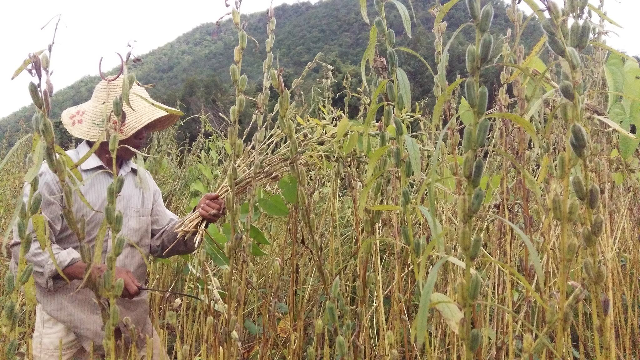 နှမ်းဈေးမကောင်းမည်ကို ဒေါတမကြီးအုပ်စုထဲမှ တောင်သူများ စိုးရိမ်ကြ