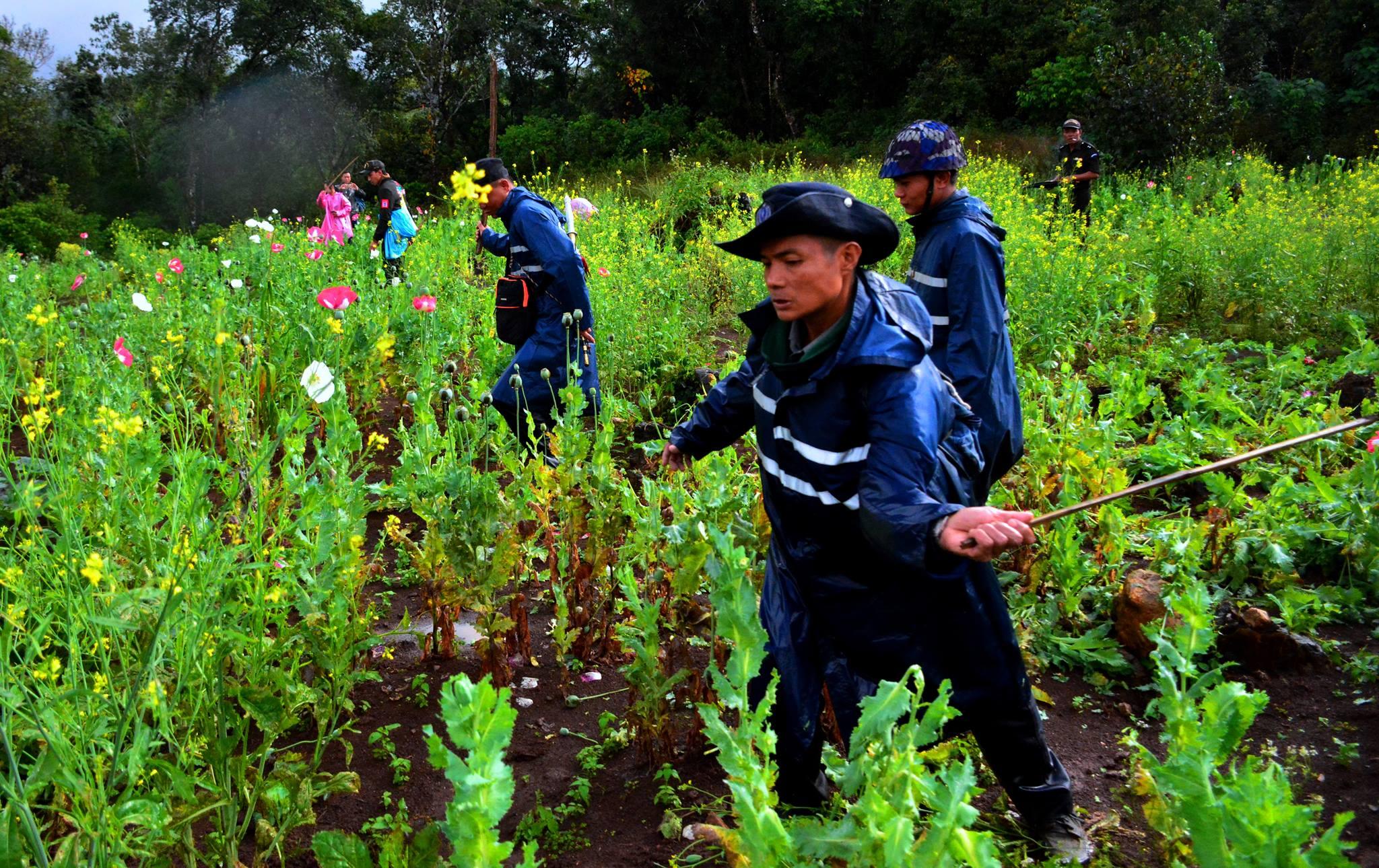 ဒေသတွင်း လိုက်လျောညီထွေဖြစ်တဲ့ အစားထိုးသီးနှံနဲ့ လျှော့ချရမယ့် ဘိန်းစိုက်ပျိုးမှု